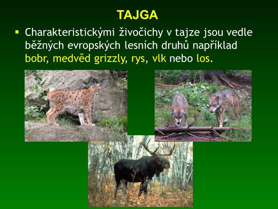TAJGA Charakteristickými živočichy v tajze jsou vedle běžných evropských lesních druhů například bobr, medvěd grizzly, rys, vlk nebo los.