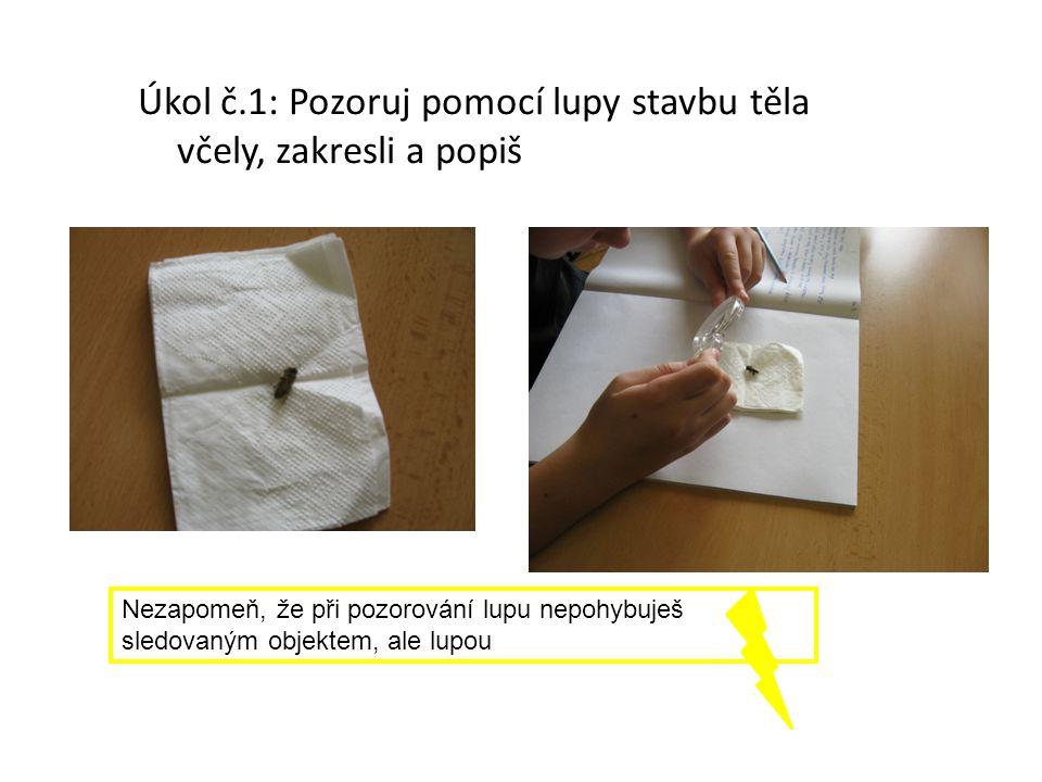 Úkol č.1: Pozoruj pomocí lupy stavbu těla včely, zakresli a popiš