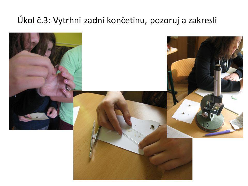 Úkol č.3: Vytrhni zadní končetinu, pozoruj a zakresli