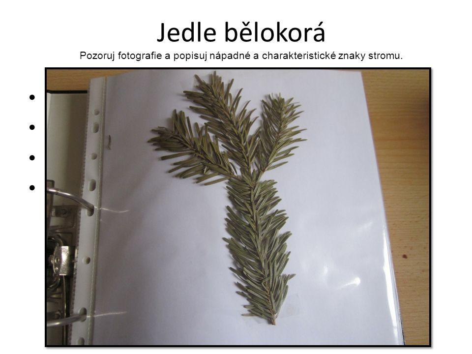 Jedle bělokorá Pozoruj fotografie a popisuj nápadné a charakteristické znaky stromu.