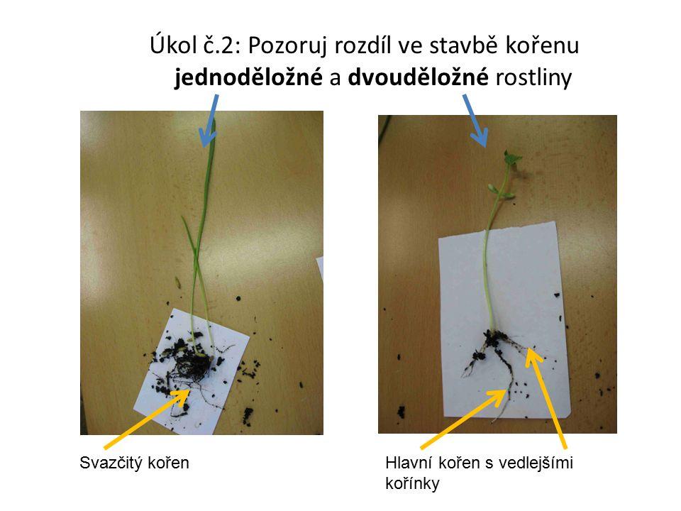 Úkol č.2: Pozoruj rozdíl ve stavbě kořenu jednoděložné a dvouděložné rostliny