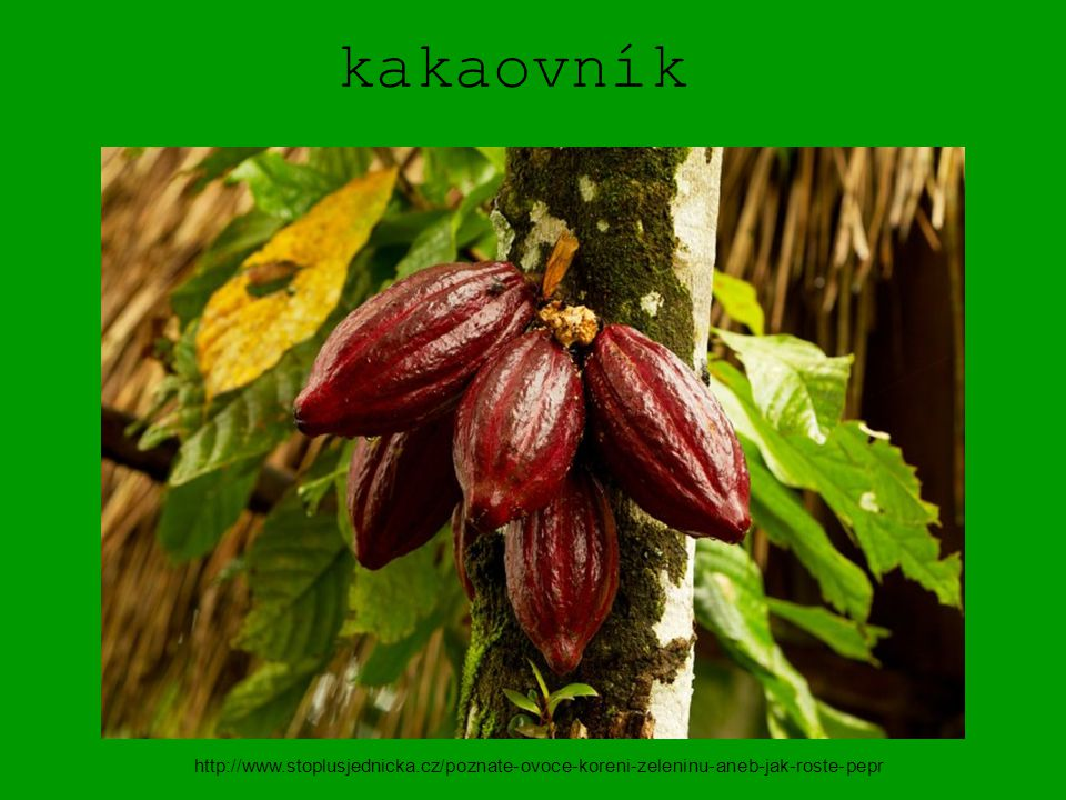 kakaovník http://www.stoplusjednicka.cz/poznate-ovoce-koreni-zeleninu-aneb-jak-roste-pepr