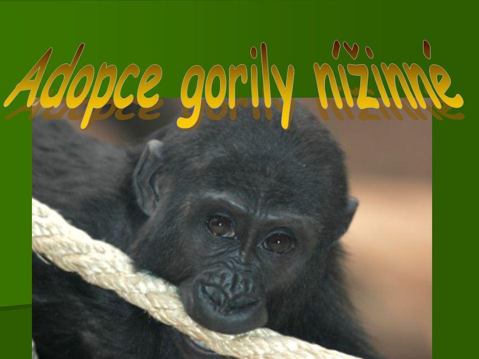 Adopce gorily nížinné