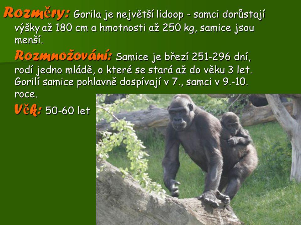 Rozměry: Gorila je největší lidoop - samci dorůstají výšky až 180 cm a hmotnosti až 250 kg, samice jsou menší.