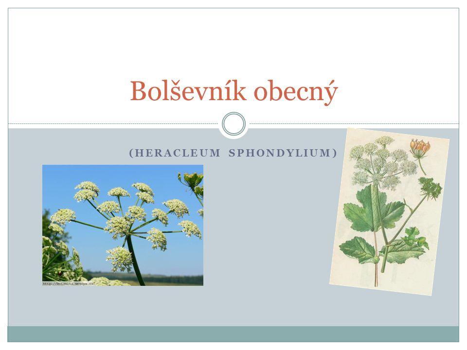 (Heracleum sphondylium)