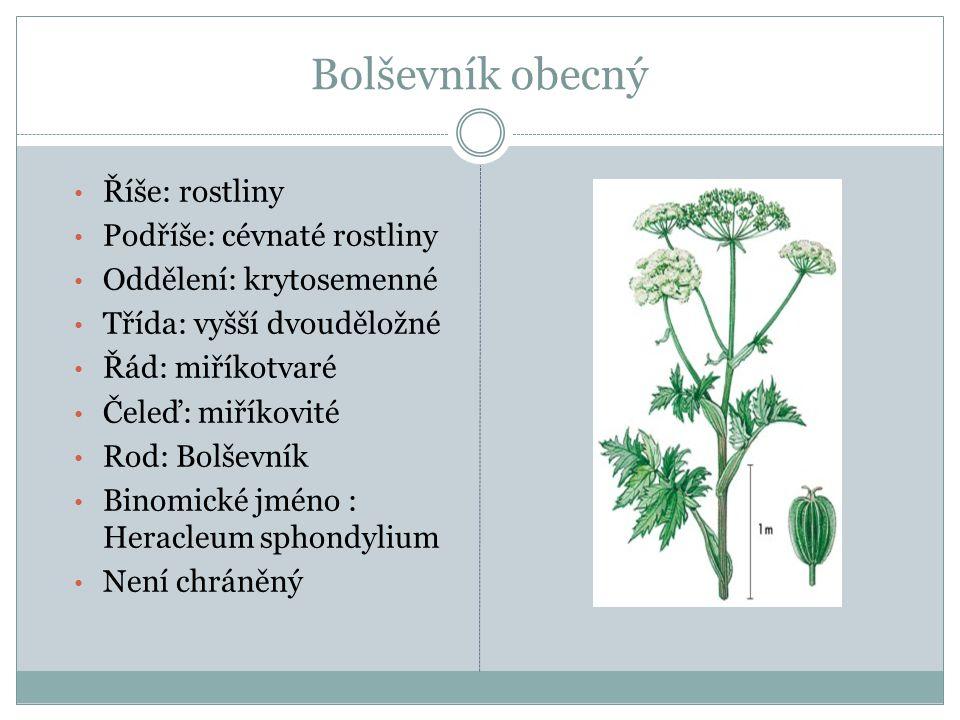Bolševník obecný Říše: rostliny Podříše: cévnaté rostliny