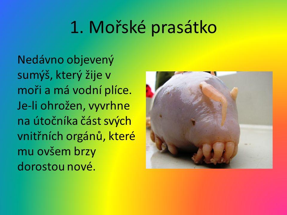 1. Mořské prasátko