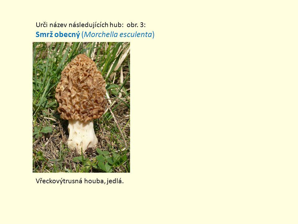 Smrž obecný (Morchella esculenta)