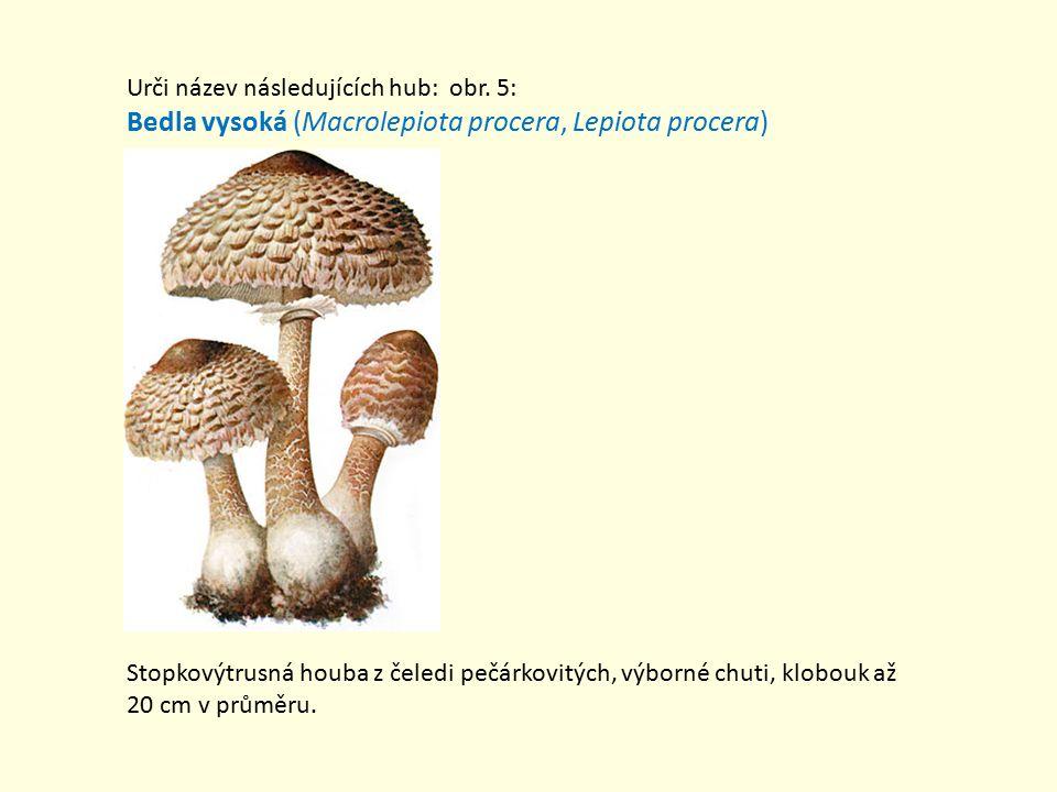 Bedla vysoká (Macrolepiota procera, Lepiota procera)