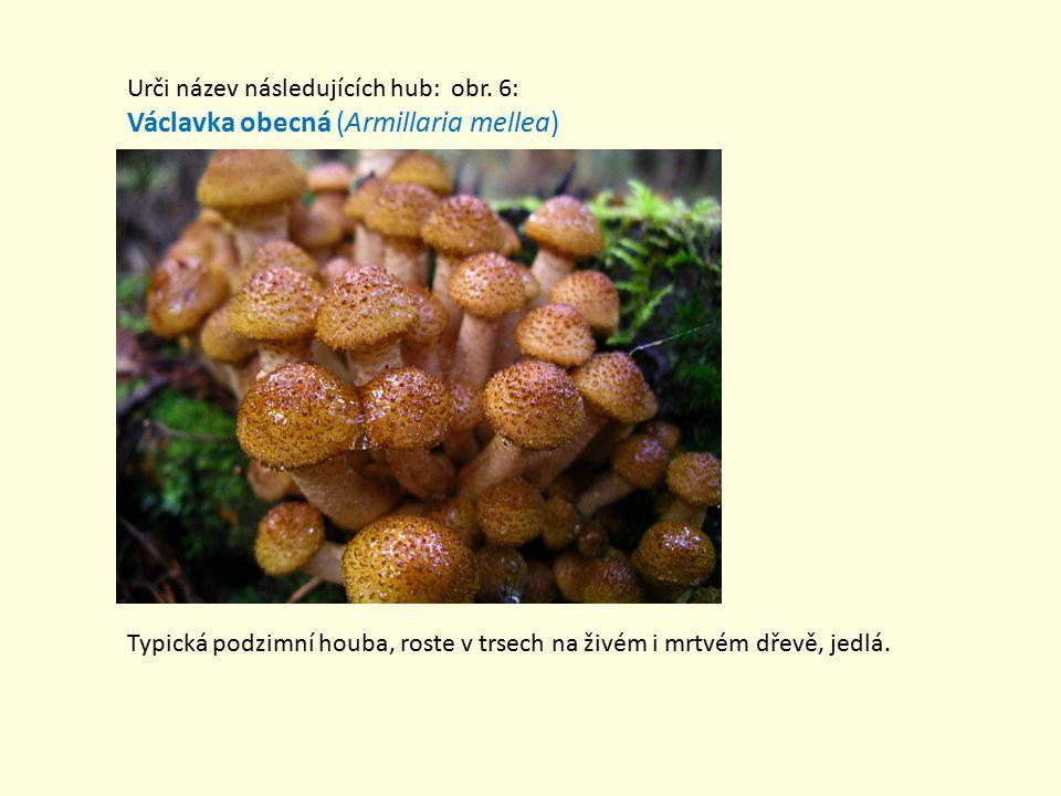 Václavka obecná (Armillaria mellea)