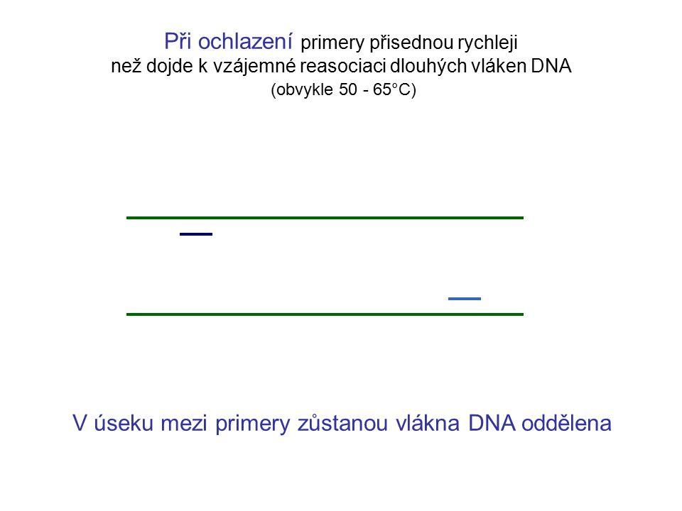 V úseku mezi primery zůstanou vlákna DNA oddělena