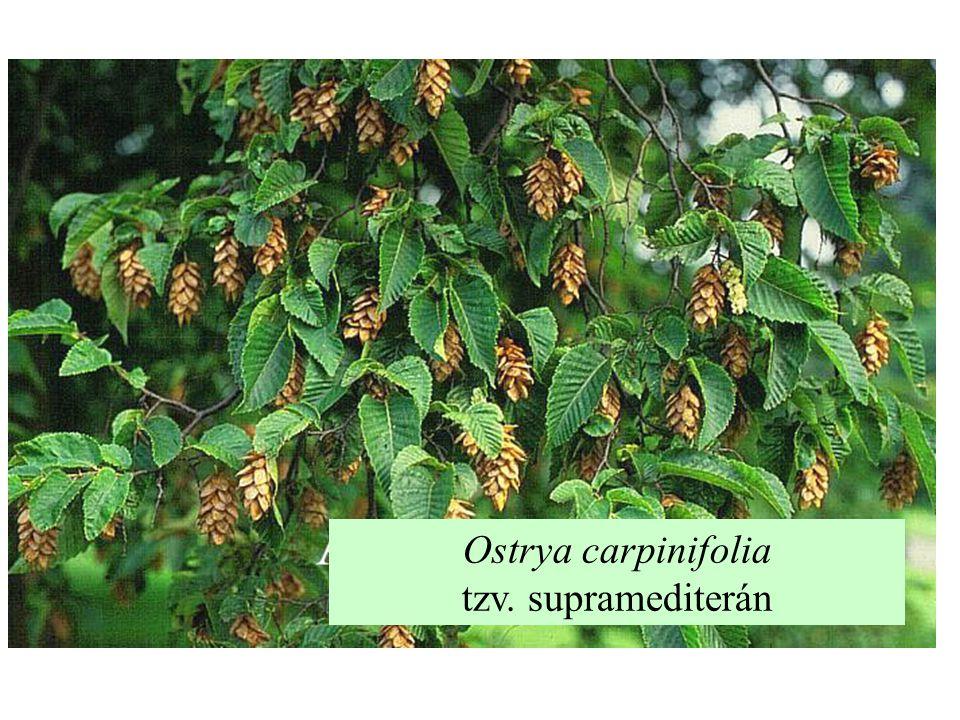Ostrya carpinifolia tzv. supramediterán