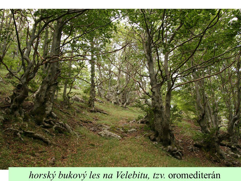 horský bukový les na Velebitu, tzv. oromediterán