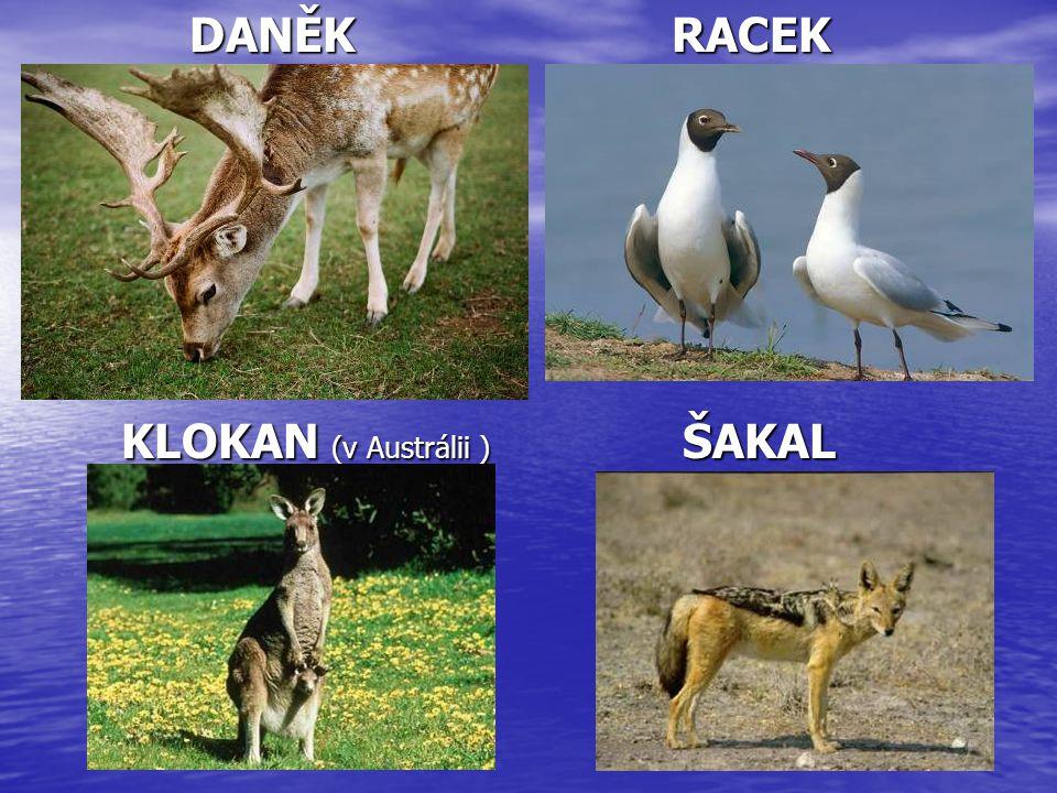 DANĚK RACEK KLOKAN (v Austrálii ) ŠAKAL