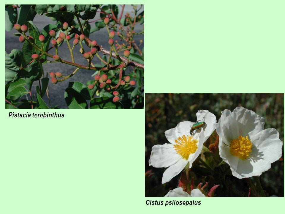 Pistacia terebinthus Cistus psilosepalus