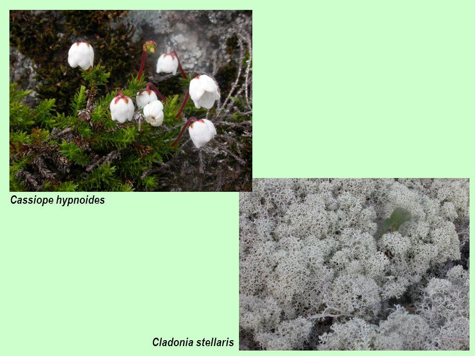 Cassiope hypnoides Cladonia stellaris
