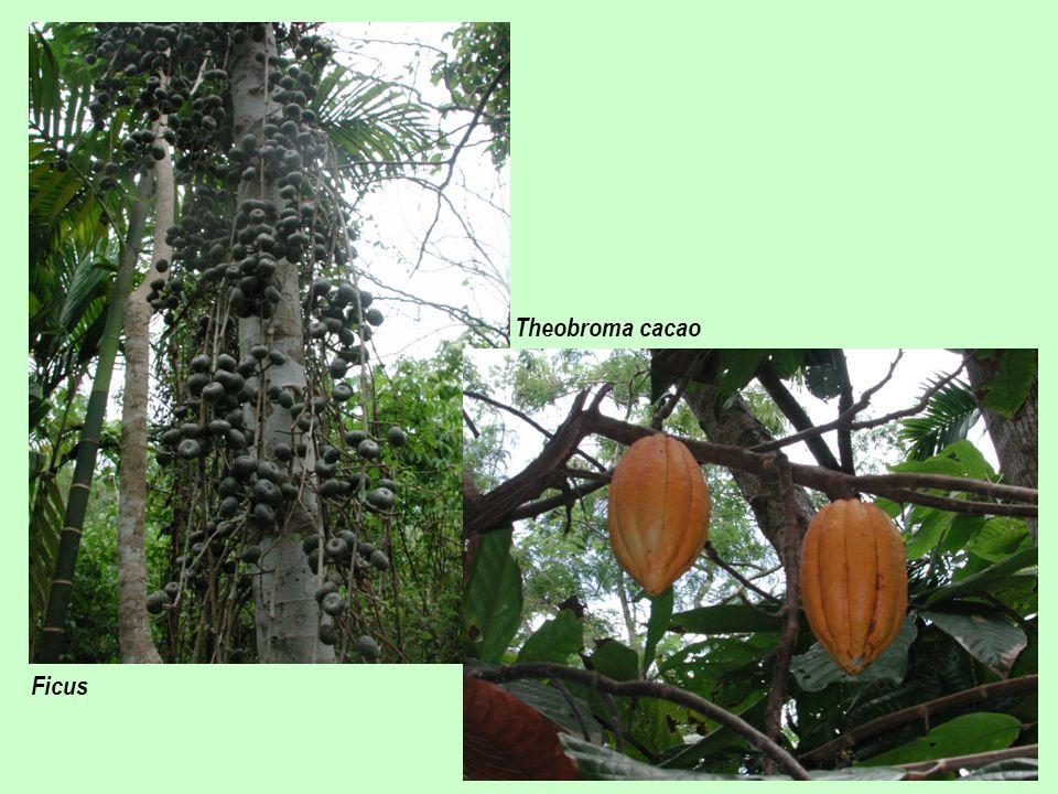Theobroma cacao Ficus