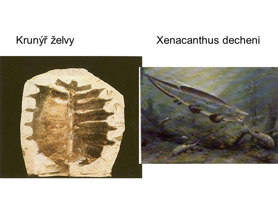 Krunýř želvy Xenacanthus decheni
