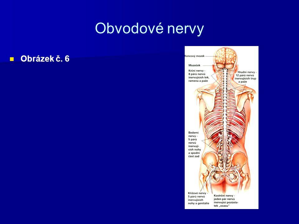Obvodové nervy Obrázek č. 6