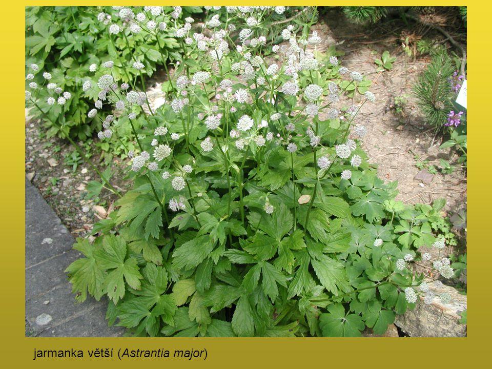 jarmanka větší (Astrantia major)