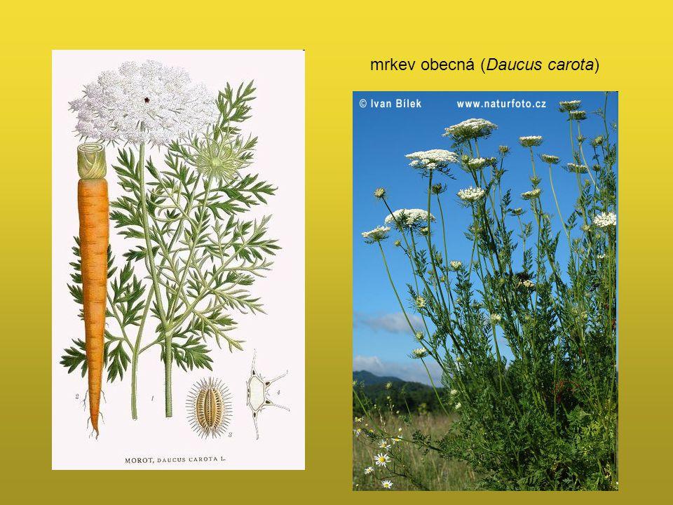 mrkev obecná (Daucus carota)