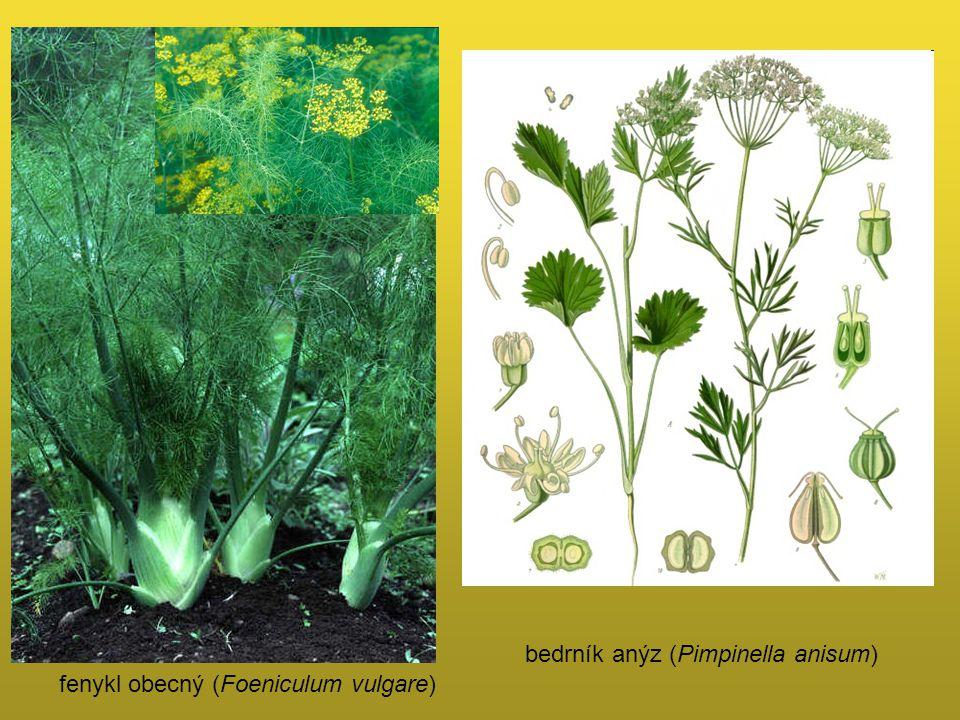 bedrník anýz (Pimpinella anisum)