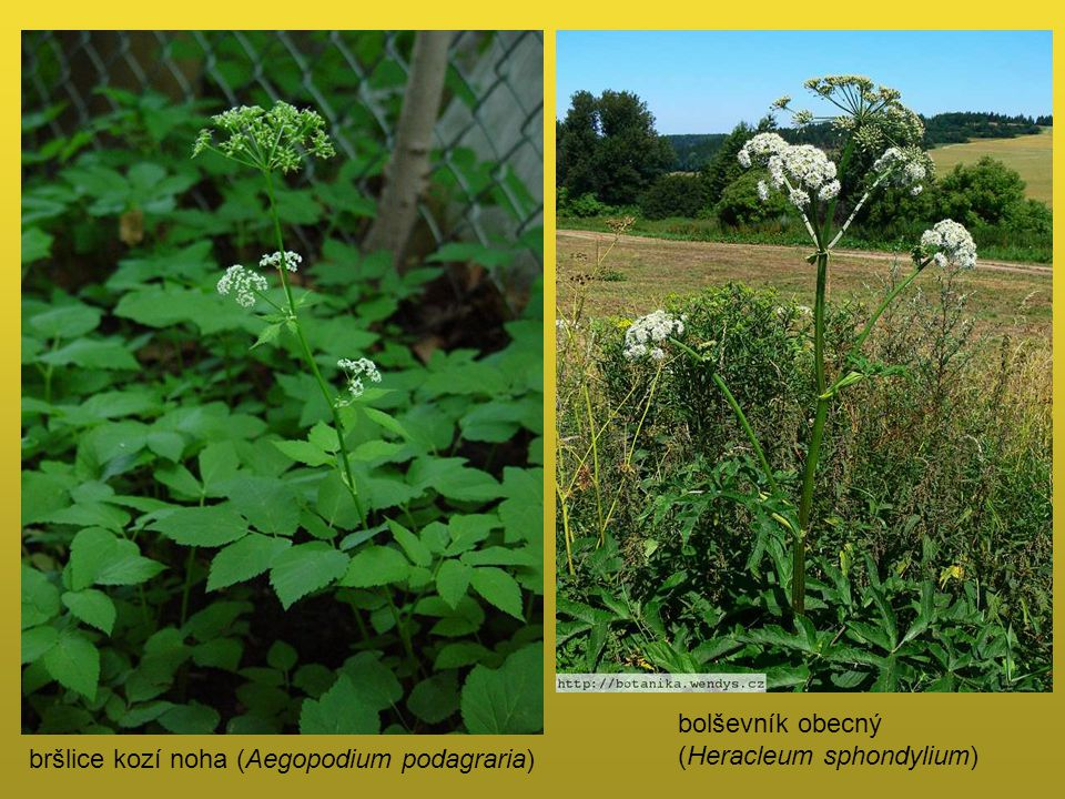 bolševník obecný (Heracleum sphondylium) bršlice kozí noha (Aegopodium podagraria)