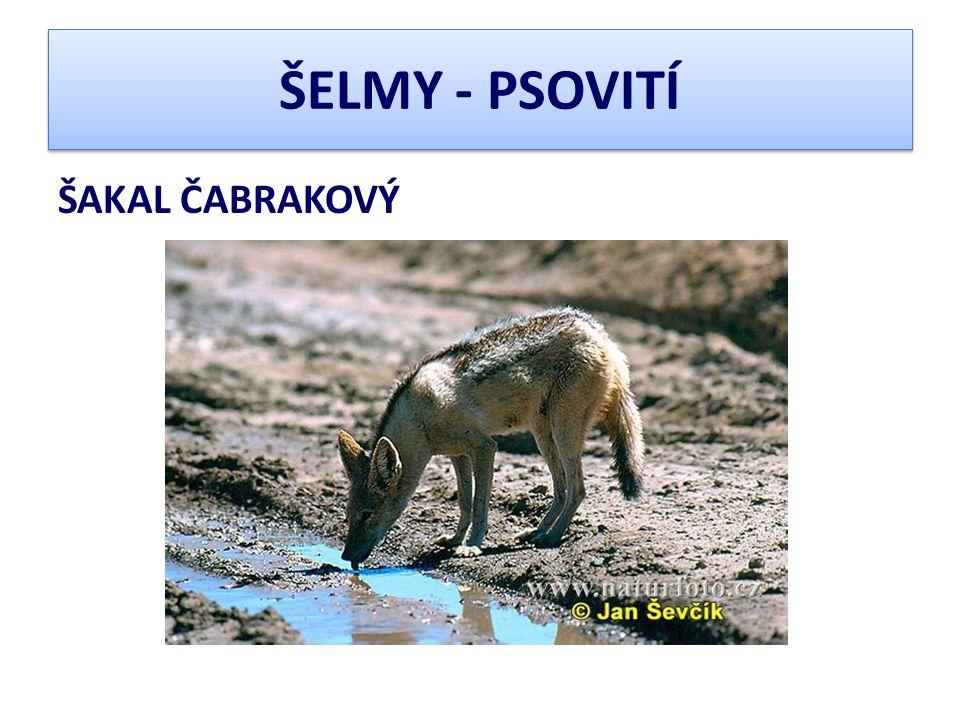 ŠELMY - PSOVITÍ ŠAKAL ČABRAKOVÝ