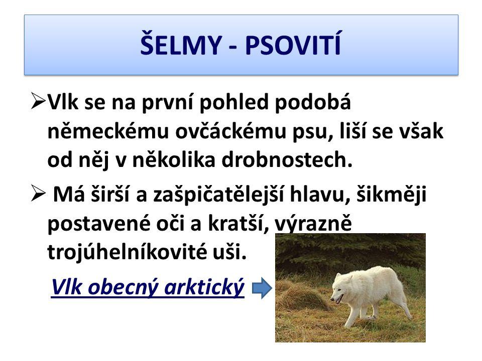 ŠELMY - PSOVITÍ Vlk se na první pohled podobá německému ovčáckému psu, liší se však od něj v několika drobnostech.