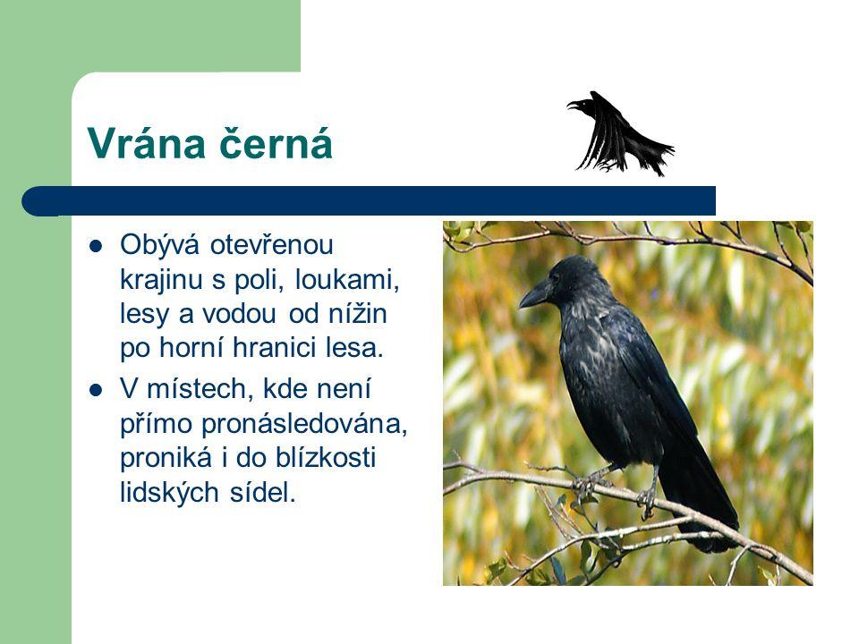 Vrána černá Obývá otevřenou krajinu s poli, loukami, lesy a vodou od nížin po horní hranici lesa.
