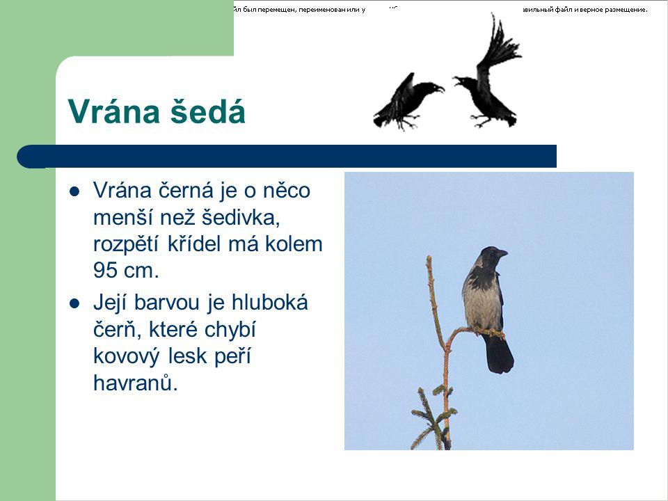 Vrána šedá Vrána černá je o něco menší než šedivka, rozpětí křídel má kolem 95 cm.