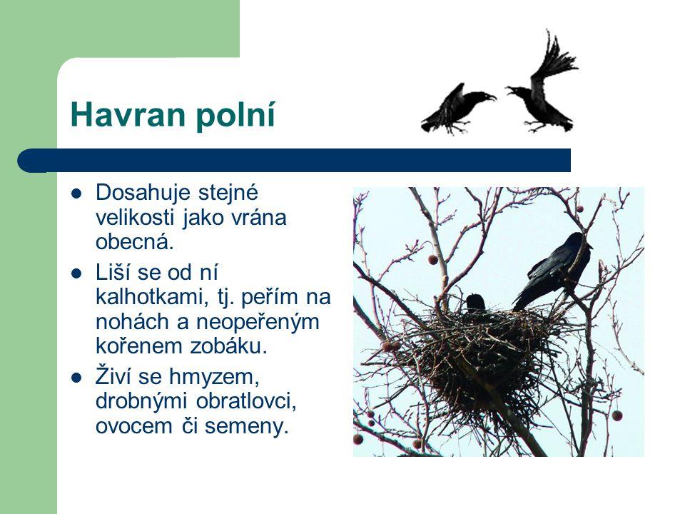 Havran polní Dosahuje stejné velikosti jako vrána obecná.