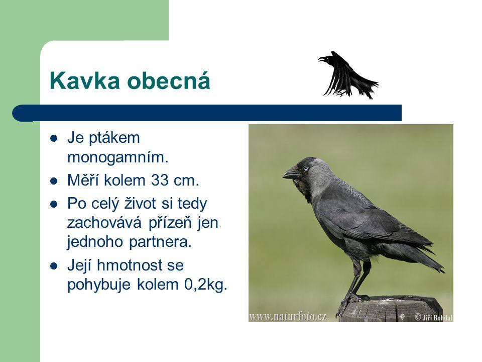 Kavka obecná Je ptákem monogamním. Měří kolem 33 cm.