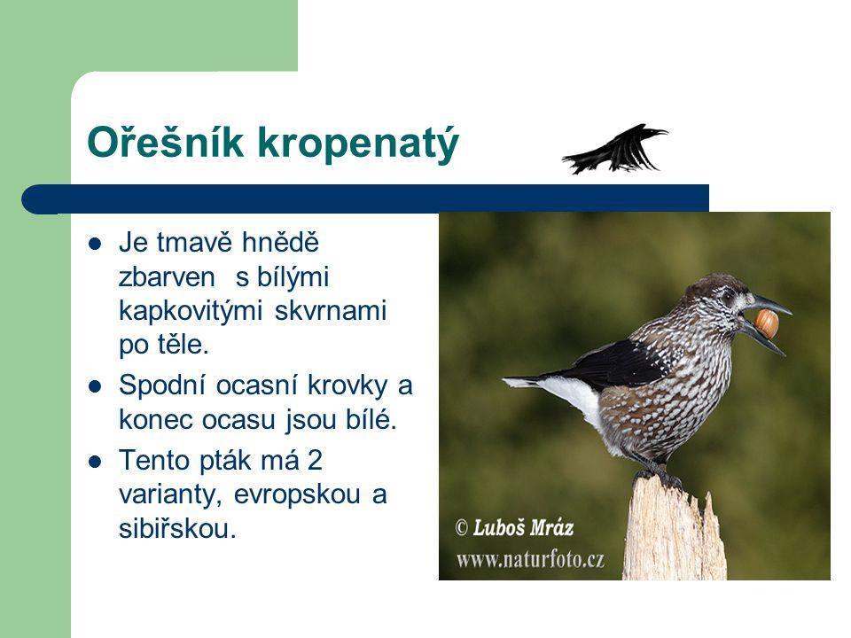 Ořešník kropenatý Je tmavě hnědě zbarven s bílými kapkovitými skvrnami po těle. Spodní ocasní krovky a konec ocasu jsou bílé.