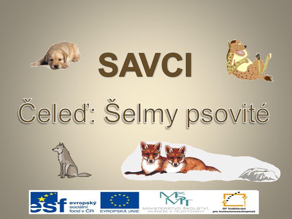 SAVCI Čeleď: Šelmy psovité
