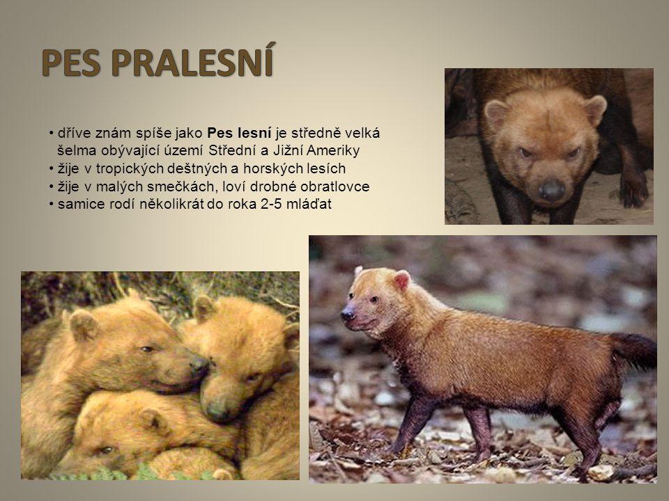 PES PRALESNÍ • dříve znám spíše jako Pes lesní je středně velká