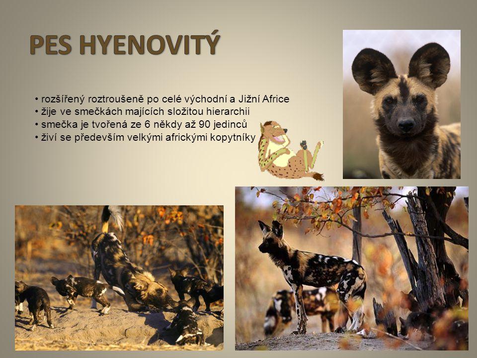 PES HYENOVITÝ • rozšířený roztroušeně po celé východní a Jižní Africe