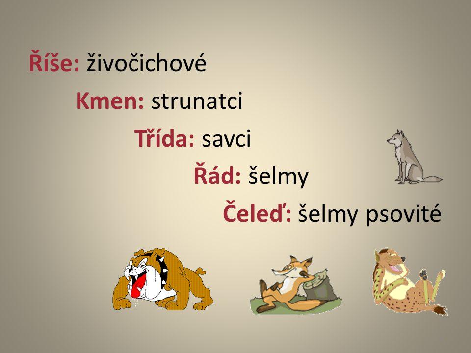 Říše: živočichové Kmen: strunatci Třída: savci Řád: šelmy Čeleď: šelmy psovité