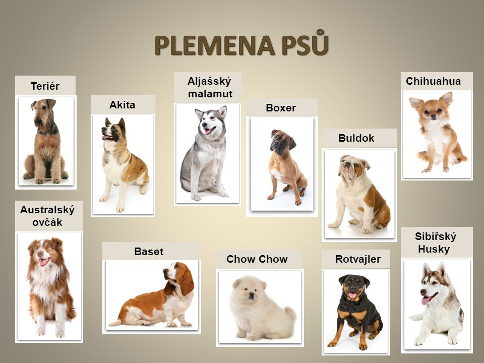 PLEMENA PSŮ Teriér Akita Aljašský malamut Chihuahua Boxer Buldok