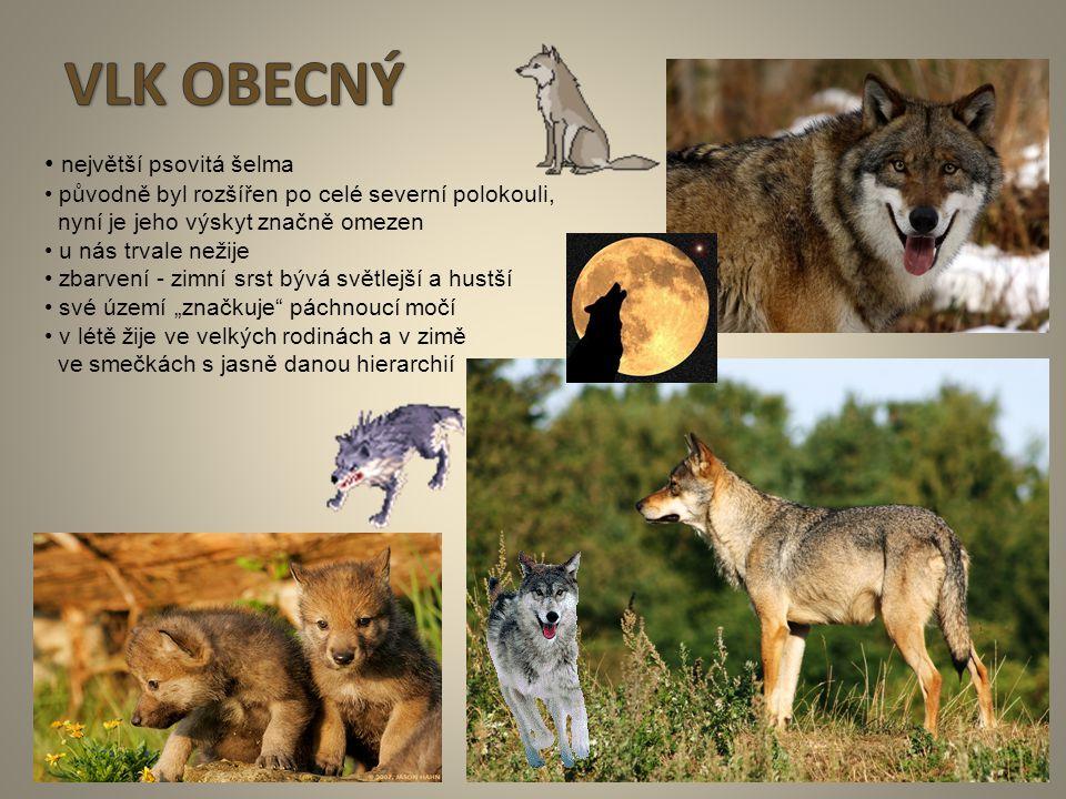 VLK OBECNÝ • největší psovitá šelma