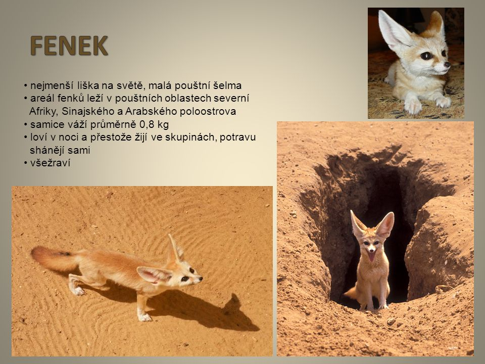 FENEK • nejmenší liška na světě, malá pouštní šelma