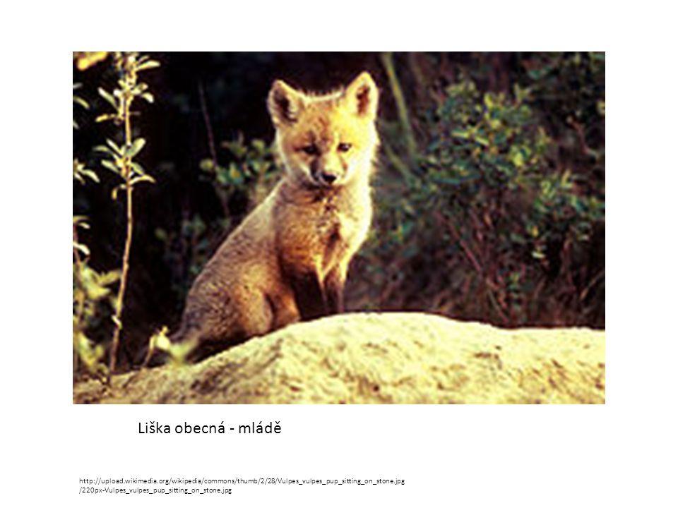 Liška obecná - mládě