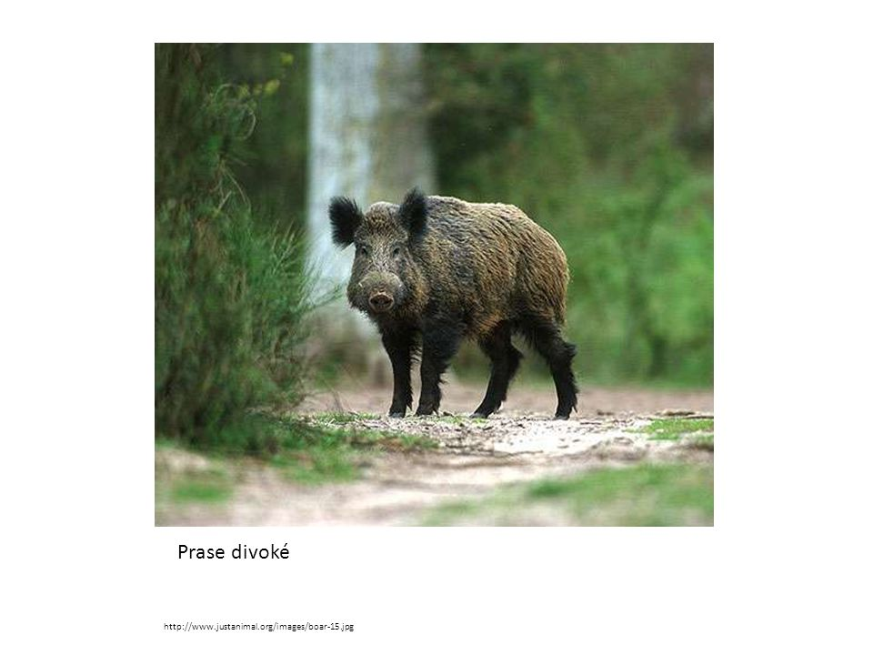 Prase divoké http://www.justanimal.org/images/boar-15.jpg