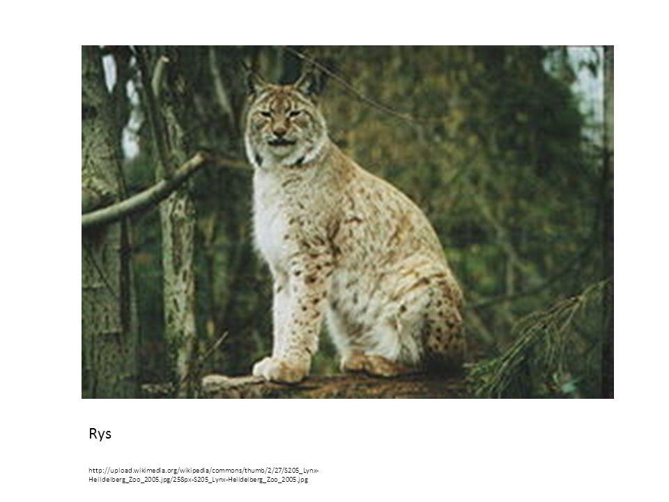 Rys http://upload.wikimedia.org/wikipedia/commons/thumb/2/27/S205_Lynx-Heildelberg_Zoo_2005.jpg/258px-S205_Lynx-Heildelberg_Zoo_2005.jpg.