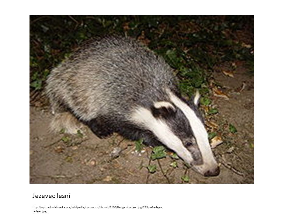 Jezevec lesní http://upload.wikimedia.org/wikipedia/commons/thumb/1/10/Badger-badger.jpg/225px-Badger-badger.jpg.