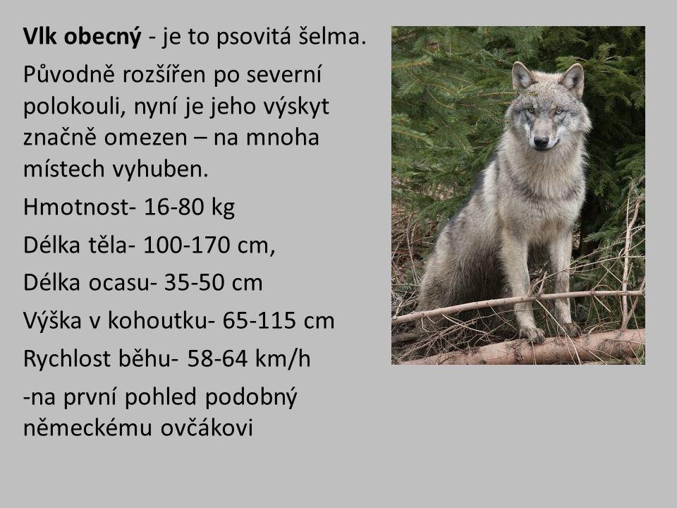 Vlk obecný - je to psovitá šelma.