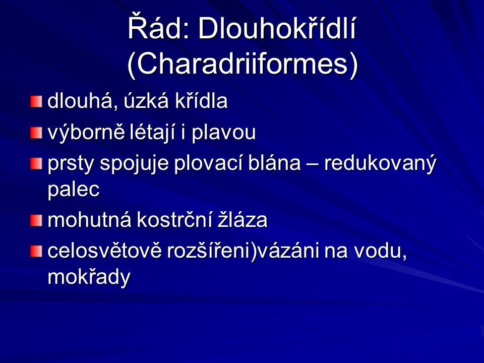 Řád: Dlouhokřídlí (Charadriiformes)
