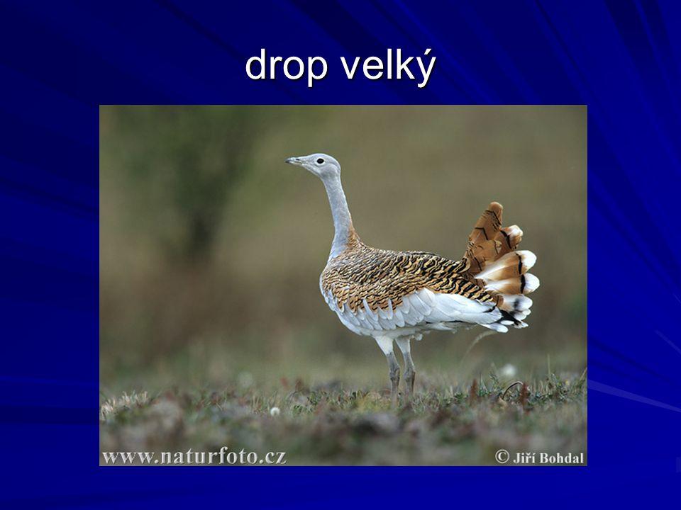 drop velký
