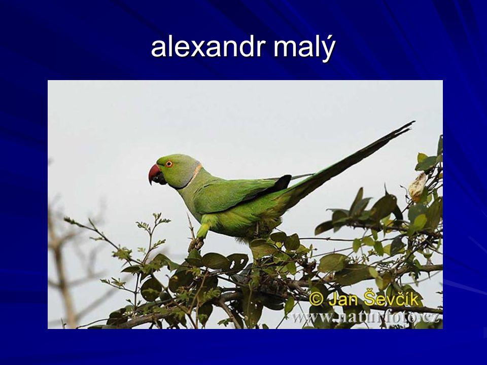 alexandr malý