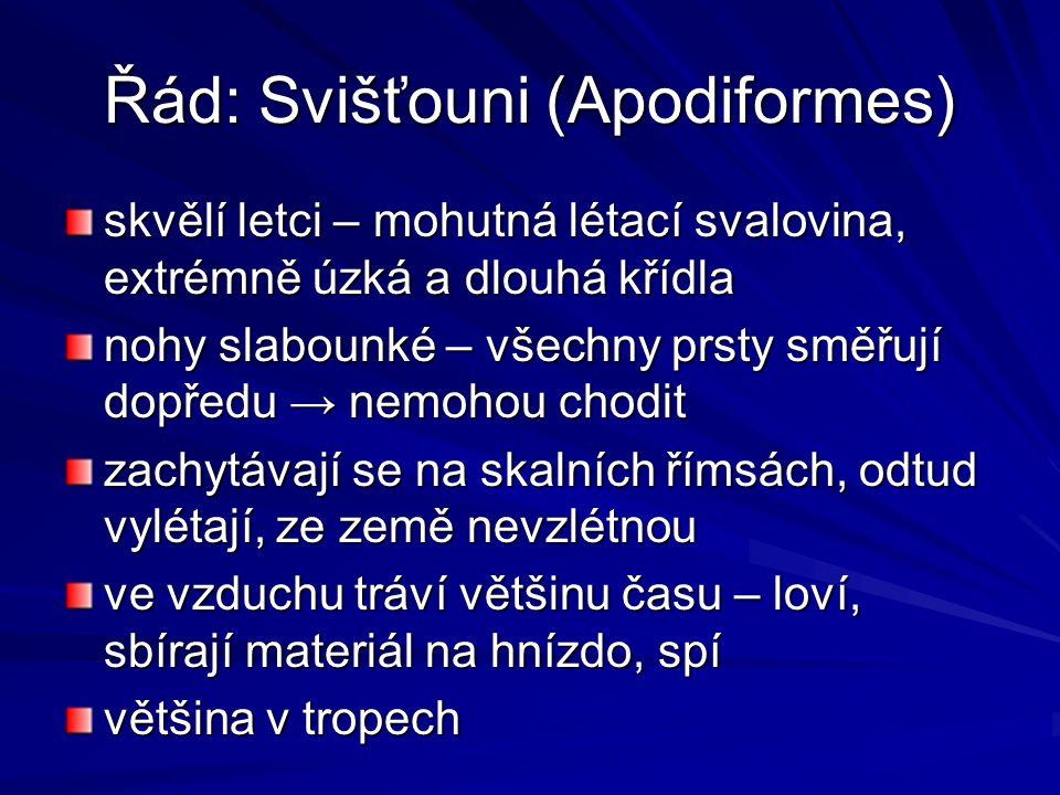 Řád: Svišťouni (Apodiformes)
